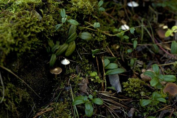 Ljusskygga hattifnattsvampar