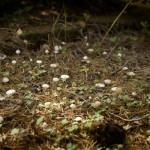 Hattifnatt-svampar