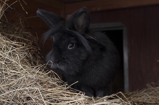 Svart kanin