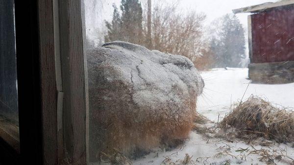 Skogshare täckt av snö
